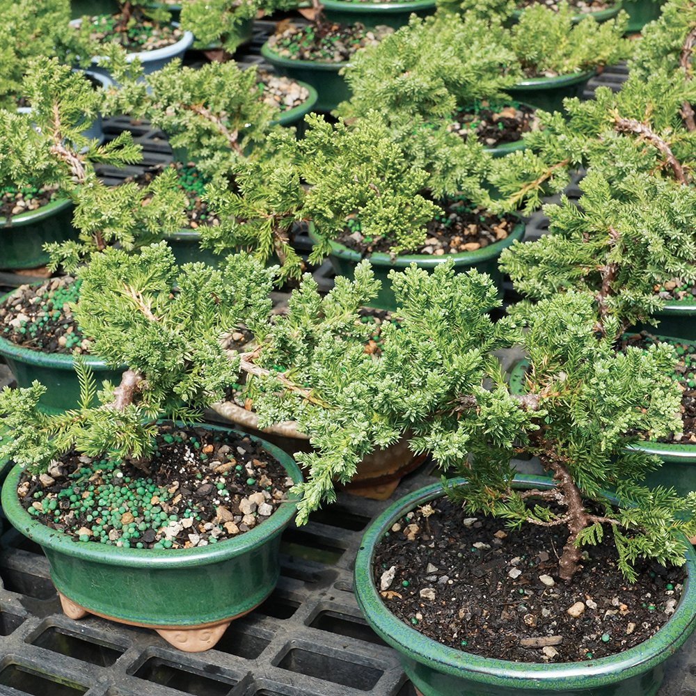 Brussel's Live Green Mound Juniper Outdoor Bonsai Tree - 3 Years Old; 4'' to 6'' tall with Decorative Container - Not Sold in California by Brussel's Bonsai (Image #3)
