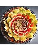 Kaimus Semillas de Flores,100pcs Guanyin loto Semillas Lithops Semillas Piedras vivas Suculentas Cactus Granel Semilla