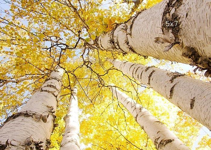 Amazon.com: Birch trees photo print, yellow art fall photography on ...