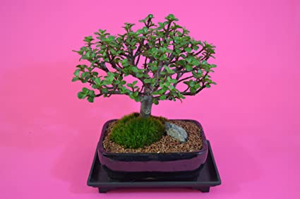 Amazon Com Indoor Bonsai Mini Jade Money Plant Flowers Broom Style 10 Years Old With Free Watering Tray Garden Outdoor