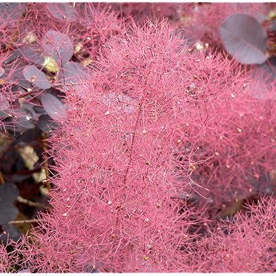 Purple Smoketree, Cotinus coggygria atropurpurea, Seeds (Fast Showy, Fall Color) (60) : Garden & Outdoor