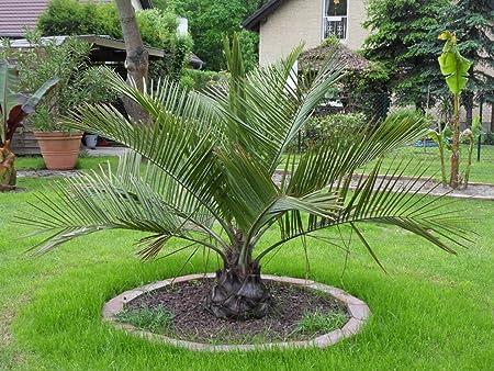 Jubaea chilensis Honig Palme Pflanze Palmen Frosthart Winterhart 30-40cm