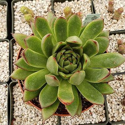 Echeveria Agavoides Cactus Cacti Succulent Real Live Plant : Garden & Outdoor