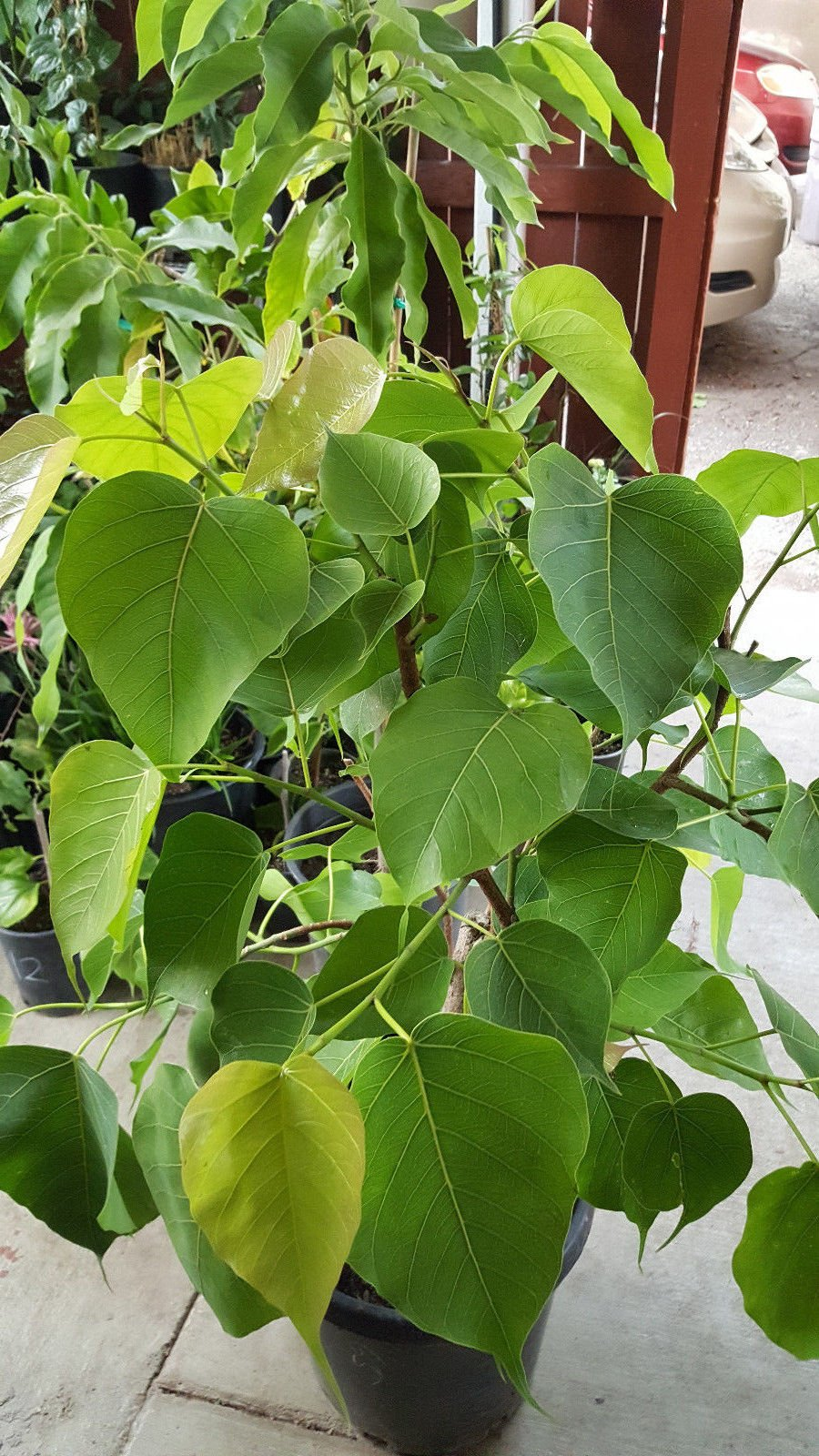 9EzTropical - Bodhi Plant FICUS RELIGIOSA - Sacred Fig Tree - 3 to 4 Feet Tall - Ship in 3 Gal Pot - Very Big Trunk
