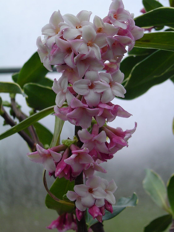DAPHNE Odora  Aureomarginata fragrant  flowering plant in 1 litre pot Evergreen