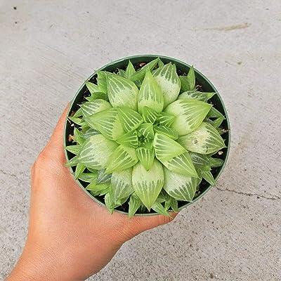 Haworthia Star Window Plant Haworthia (4 inch) : Garden & Outdoor