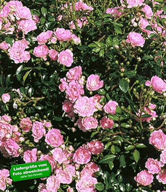 BALDUR-Garten Rosen \'The Fairy\', 1 Pflanze Bodendeckerrose: Amazon ...