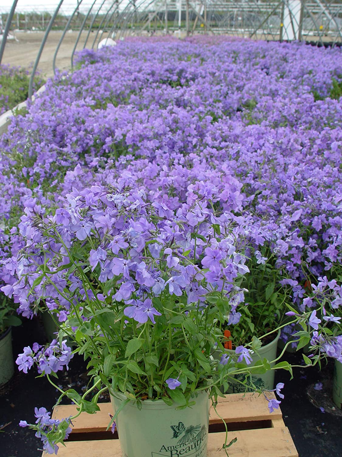 American Beauties Native Plants divaricata Moon' (Woodland Phlox) Perennial, 1-Size Container, Blue Flowers