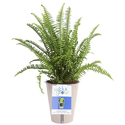 Costa Farms Fern Wick & Grow Self-Watering System Live Indoor Plant, 6