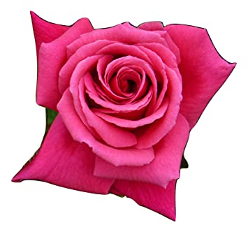 ROSE HAPPY 70TH BIRTHDAY GiftaplantTM 70th BirthdayGifts For Him Or Her SisterBrother70th Birthday Gifts