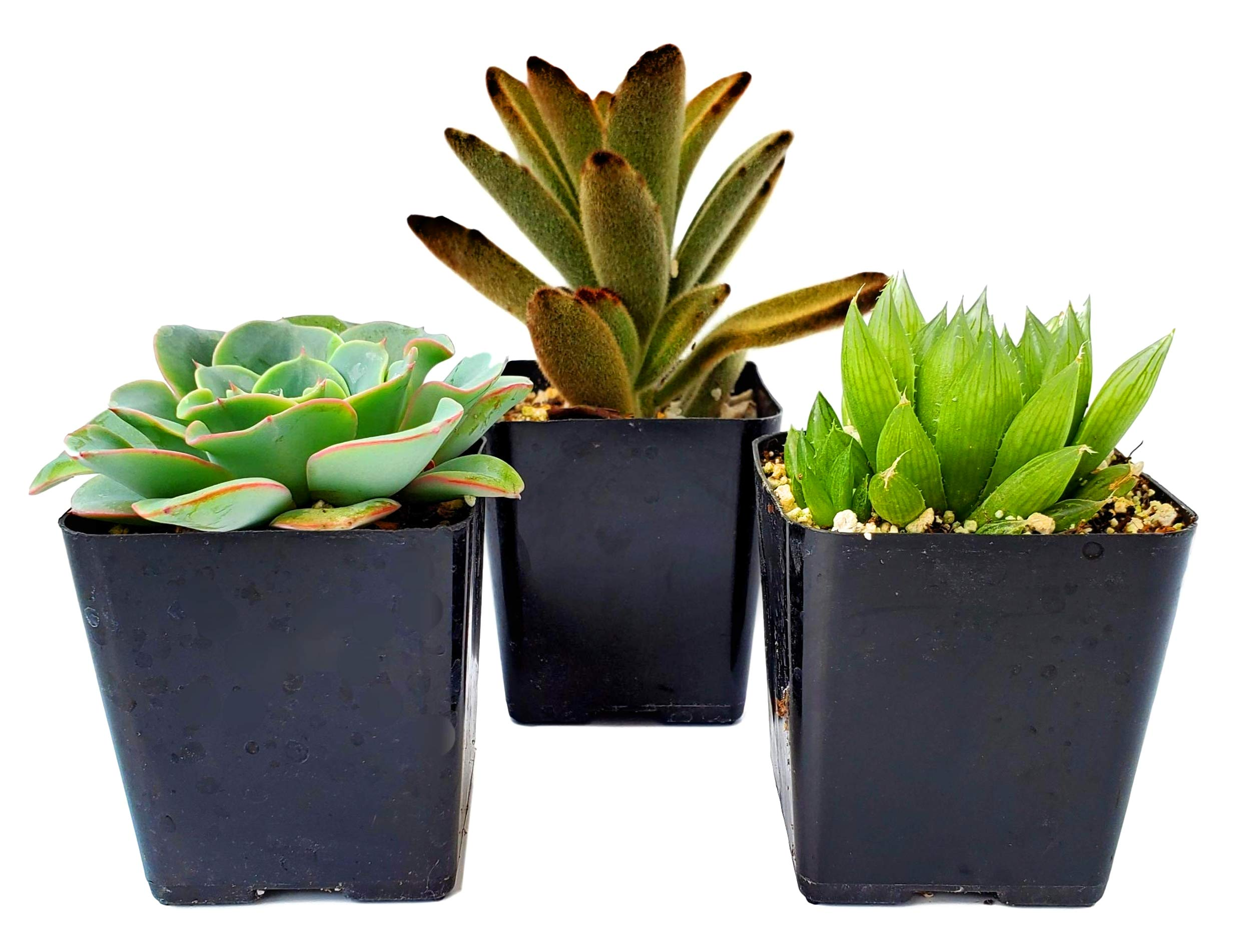 FATPLANTS Succulent Plants in Gift Box | Rooted in 2 inch Planter Pots with Soil | Living Indoor or Outdoor Plants | Home Decor, Gifts, Shower & Wedding Decorations (3) by Fat Plants San Diego