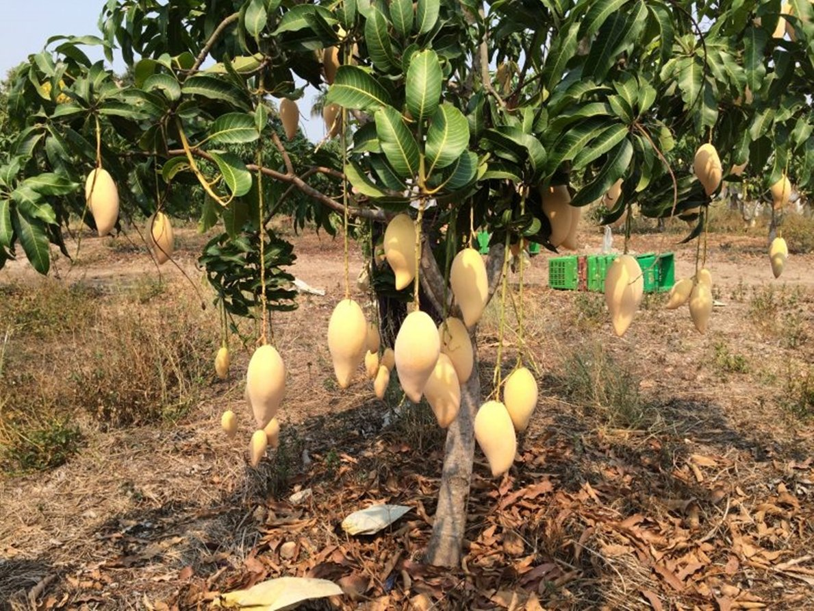 1 GRAFTED Mango Tree plant Nam-Dok-Mai Si Thong 18'' Tall Thai Golden Mango Fruit Juicy Direct from Thailand Free Phytosanitary Cert. by Nature8 Farm (Image #2)