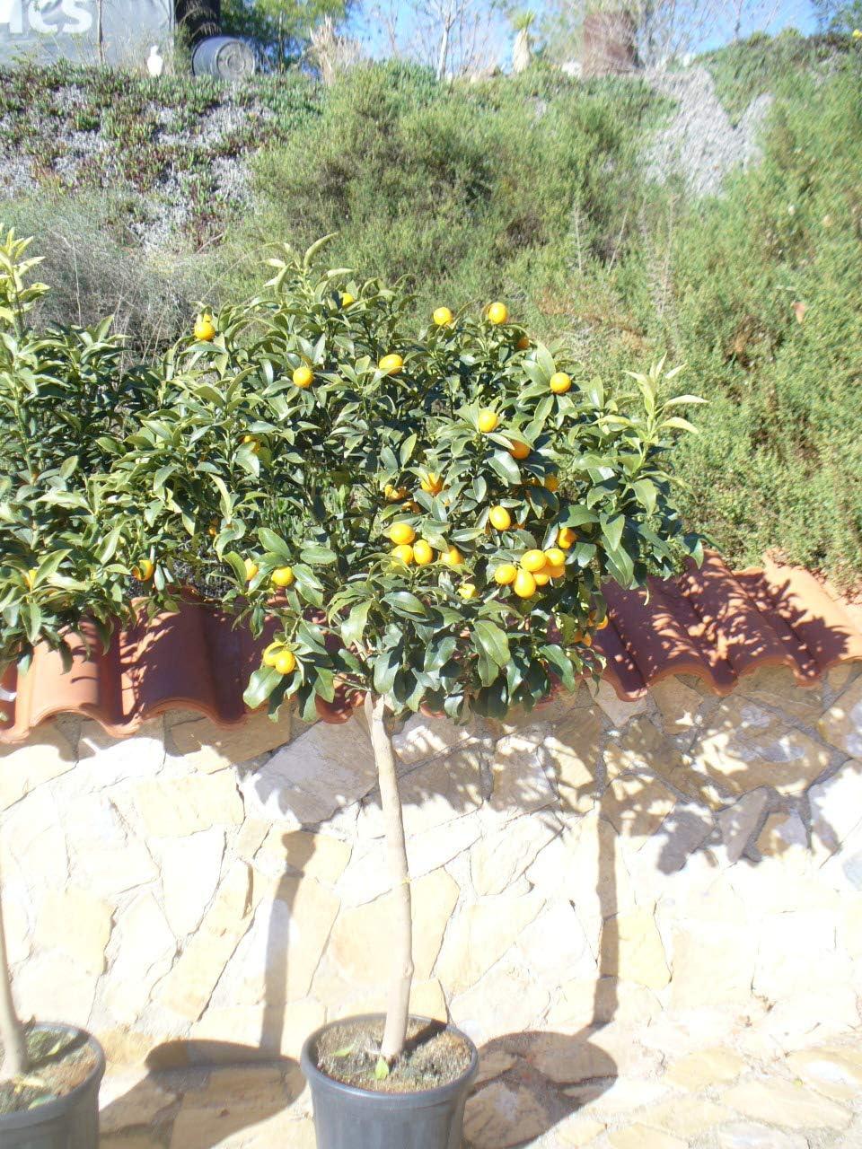 Kumquat/Citrus fortunella