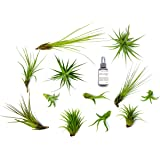 12 Air Plant Terrarium Kit - Tillandsia Variety Pack with Fertilizer Bottle - Assorted Species of Live Air Plants for Sale - Bulk Indoor House Plants by Aquatic Arts