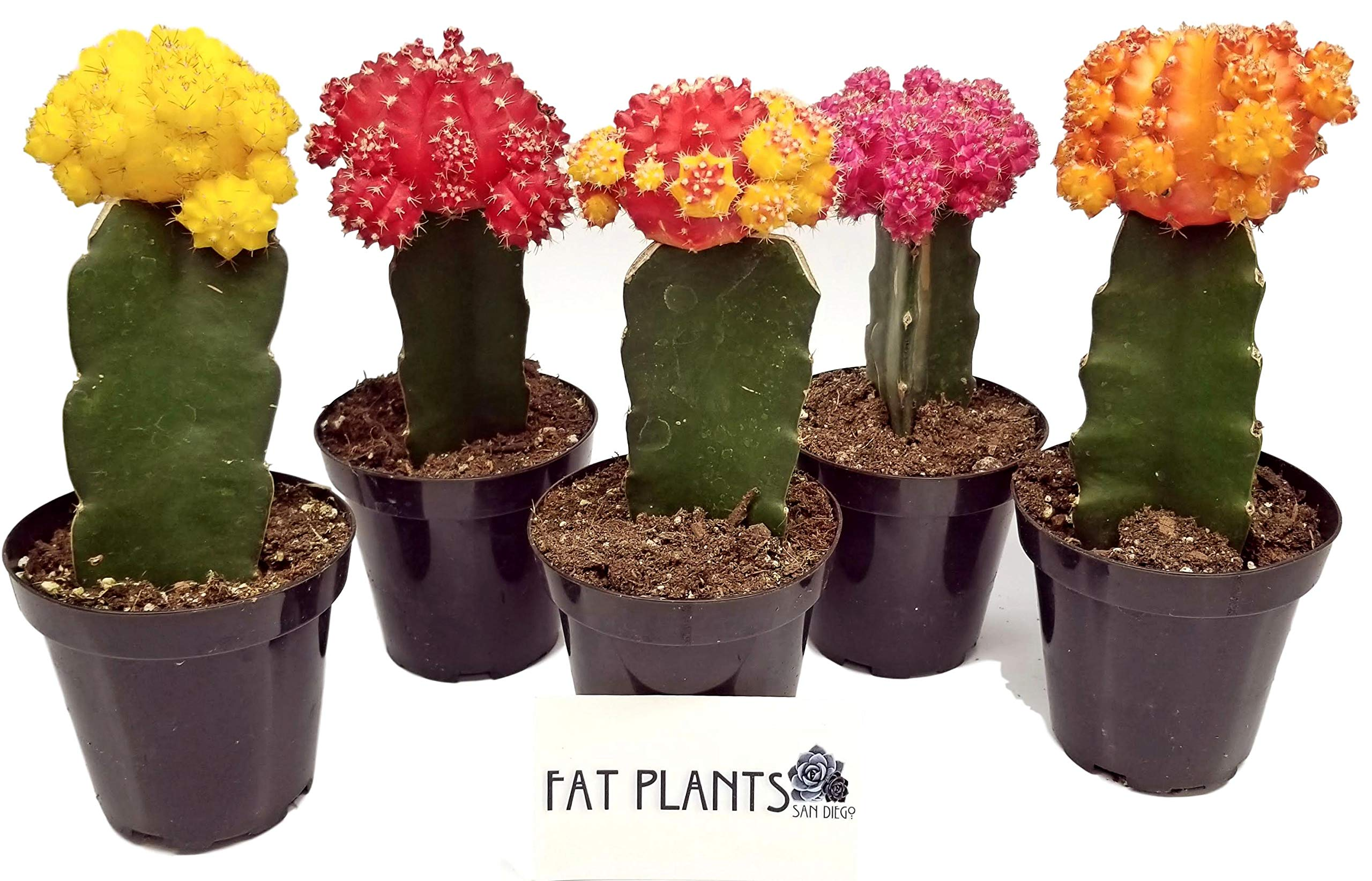 Fat Plants San Diego Large Grafted Moon Cactus Succulent Plants (5, Multi)