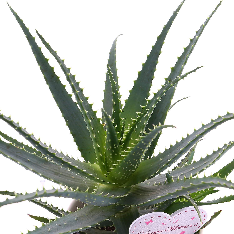 Large Aloe Arborescens Houseplant 12cm Pot in Cream Ceramic Pot with Mothers Day Pik Live Plants