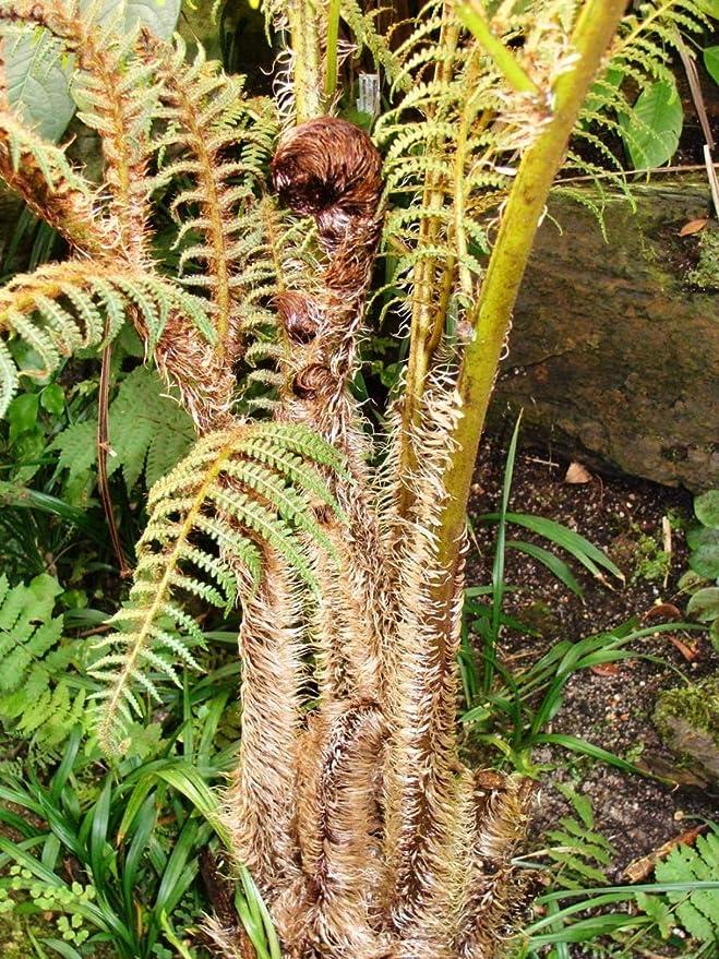 Shop Meeko Cyathea tomentosissima - 9 cm en Potplant: Amazon ...