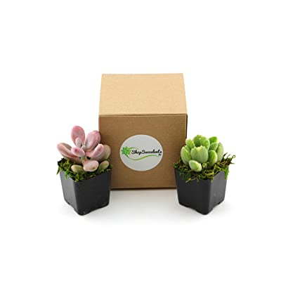 Shop Succulents Assorted Live Plants | Hand Selected for Health, Size | Pack of Succulents, Suculent: Garden & Outdoor