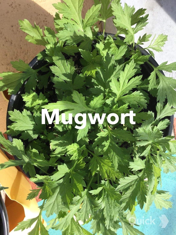 2~3 Years Organic 30 live rooted mugwort plants