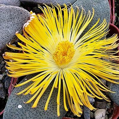 Pleiospilos simulans Cactus Cacti Succulent Real Live Plant : Garden & Outdoor