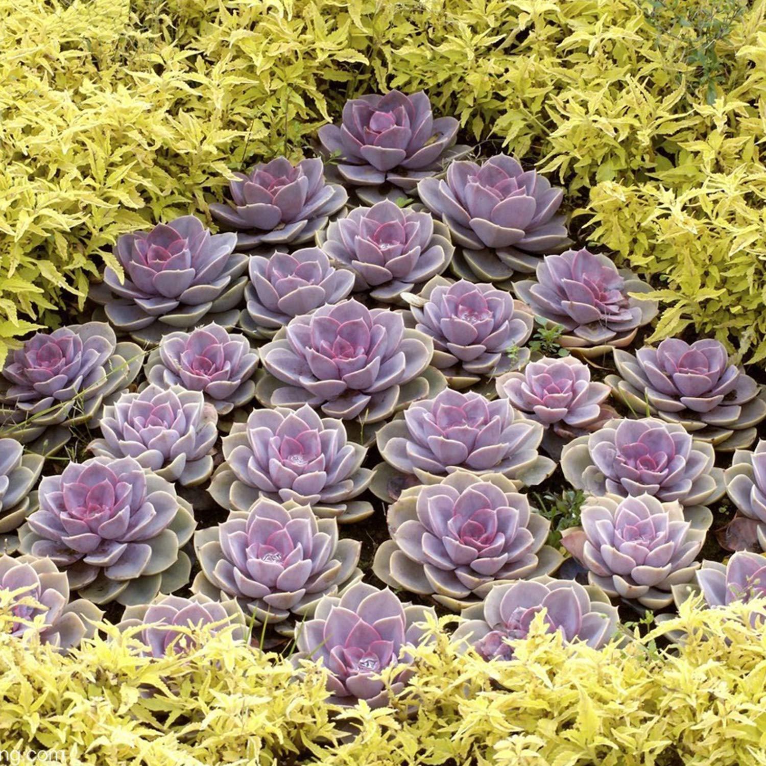 Rosette Succulents 4 Assorted Rooted Mini Succulents in 2 Planter Pots with Soil Wedding Favor Terrariums Real Live Succulents Bonsai for Indoor Home Office Cactus Decor