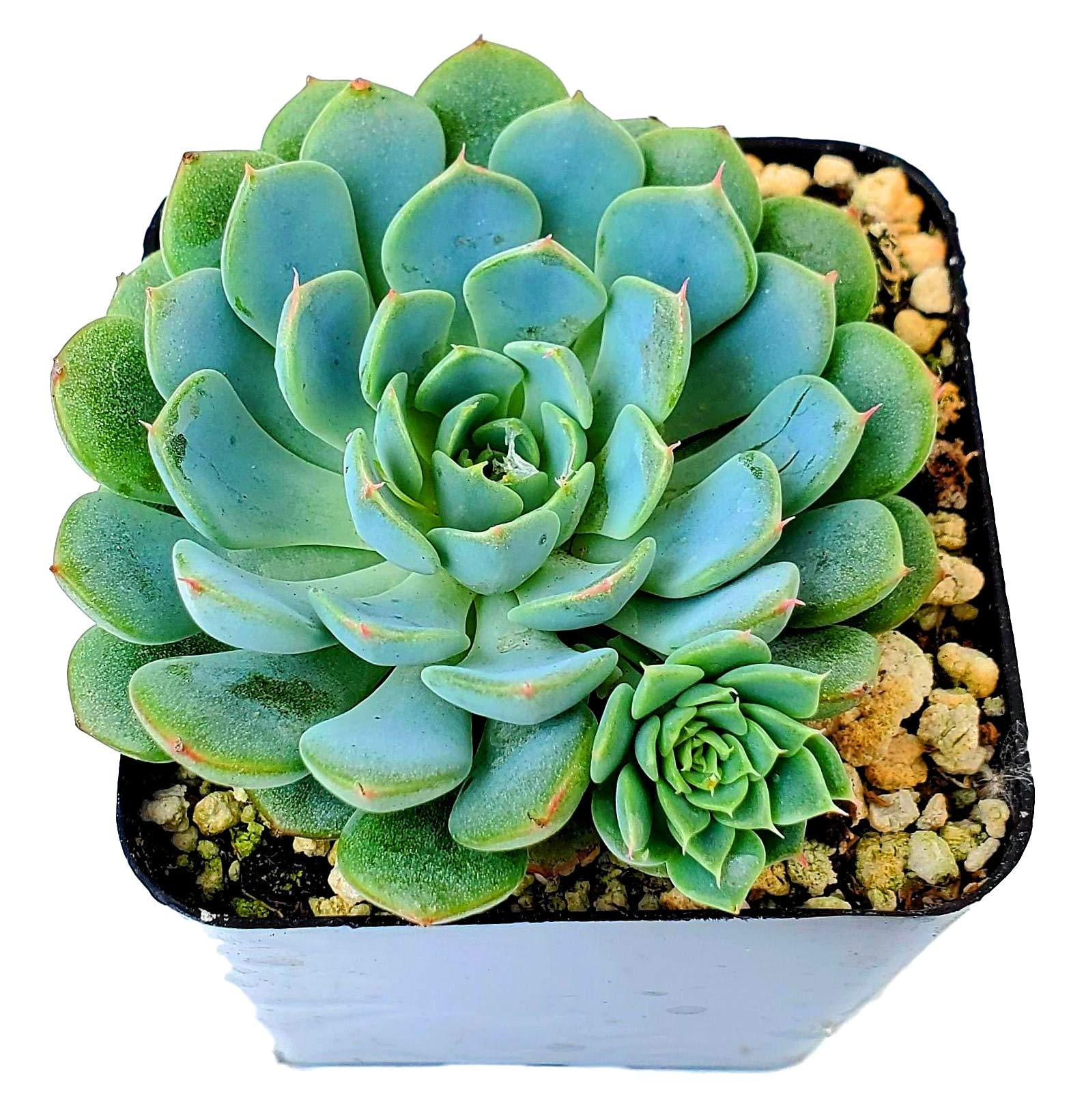 Fat Plants San Diego Live Echeveria Succulent Plant in a 4 inch Plastic Growers Pot (2.5 inch, Minima Hybrid)