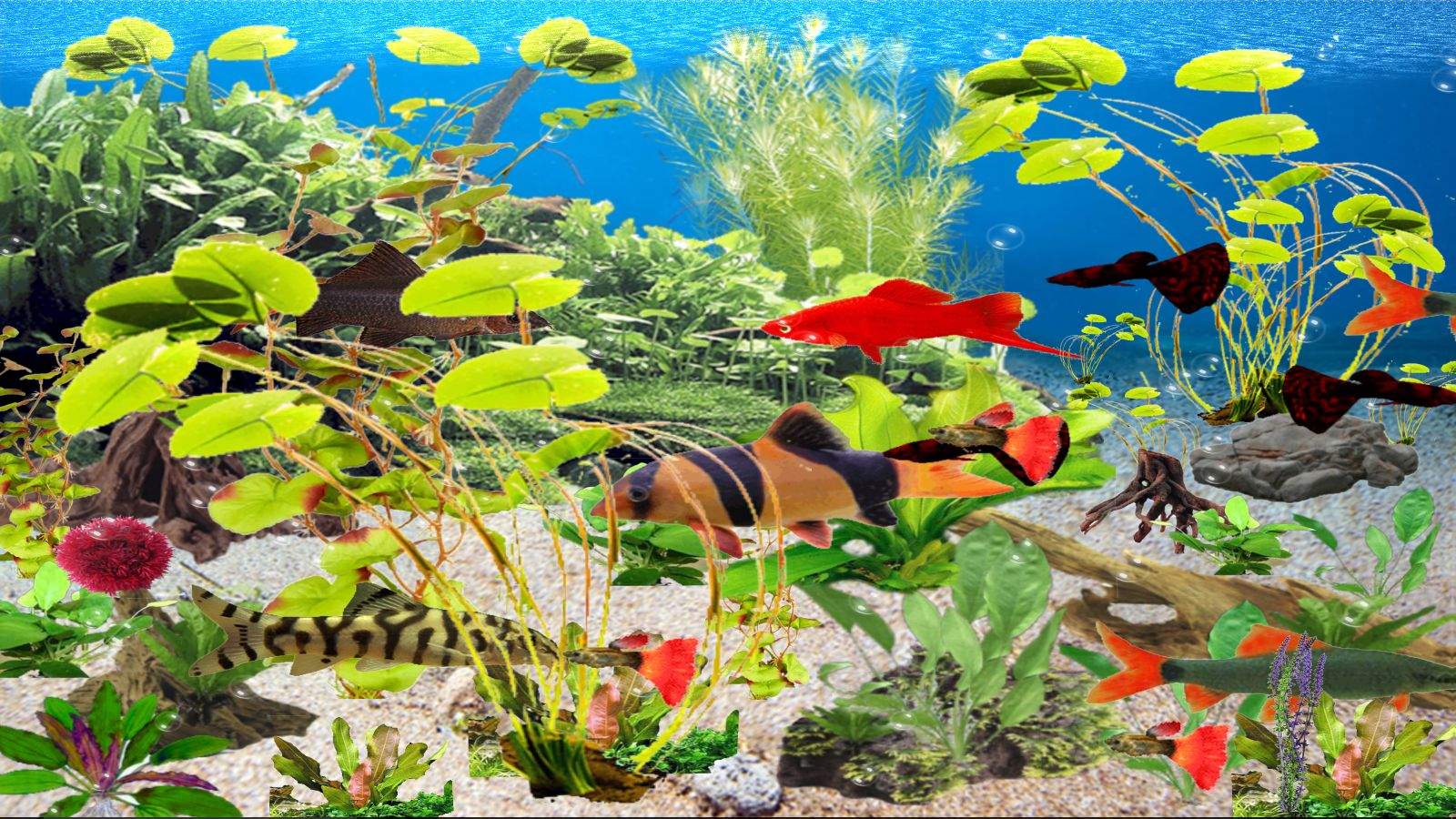 Clown Loach Aquarium [Download] (Clown Loach Aquarium)