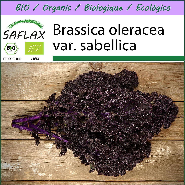 100 Samen BIO Roter Gr/ünkohl Brassica oleracea var. sabellica