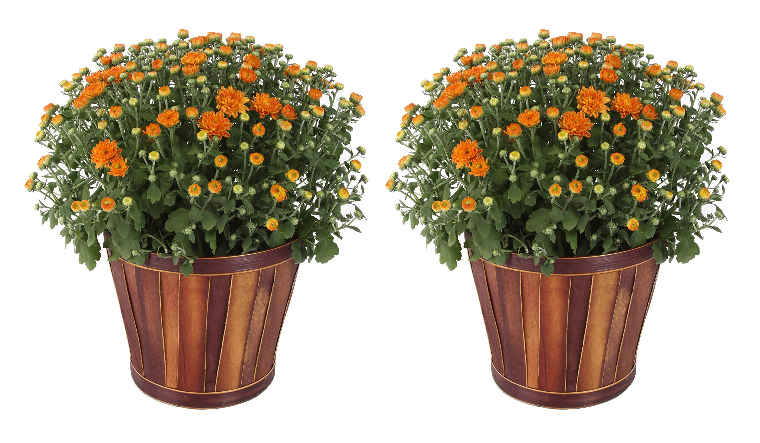 Costa Farms Chrysanthemum, Mums Ships in Bud Form, Bloom Porch and Patio Ready Bushel Basket, 3-QT, Orange by Costa Farms