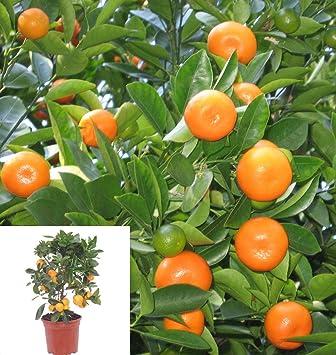 ASTONISH Seeds Package 5 Thai Calamondin Citrofortunella Microcarpa Minature Fruit Tree Seed Dwarf