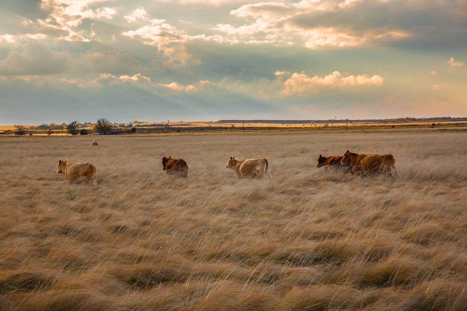 Texas Cattle Photography Art Print - Picture of Cows Wading Through Tall Grass in Panhandle Rustic Country Great Plains Decor Artwork for Home Decoration 5x7 to 30x45