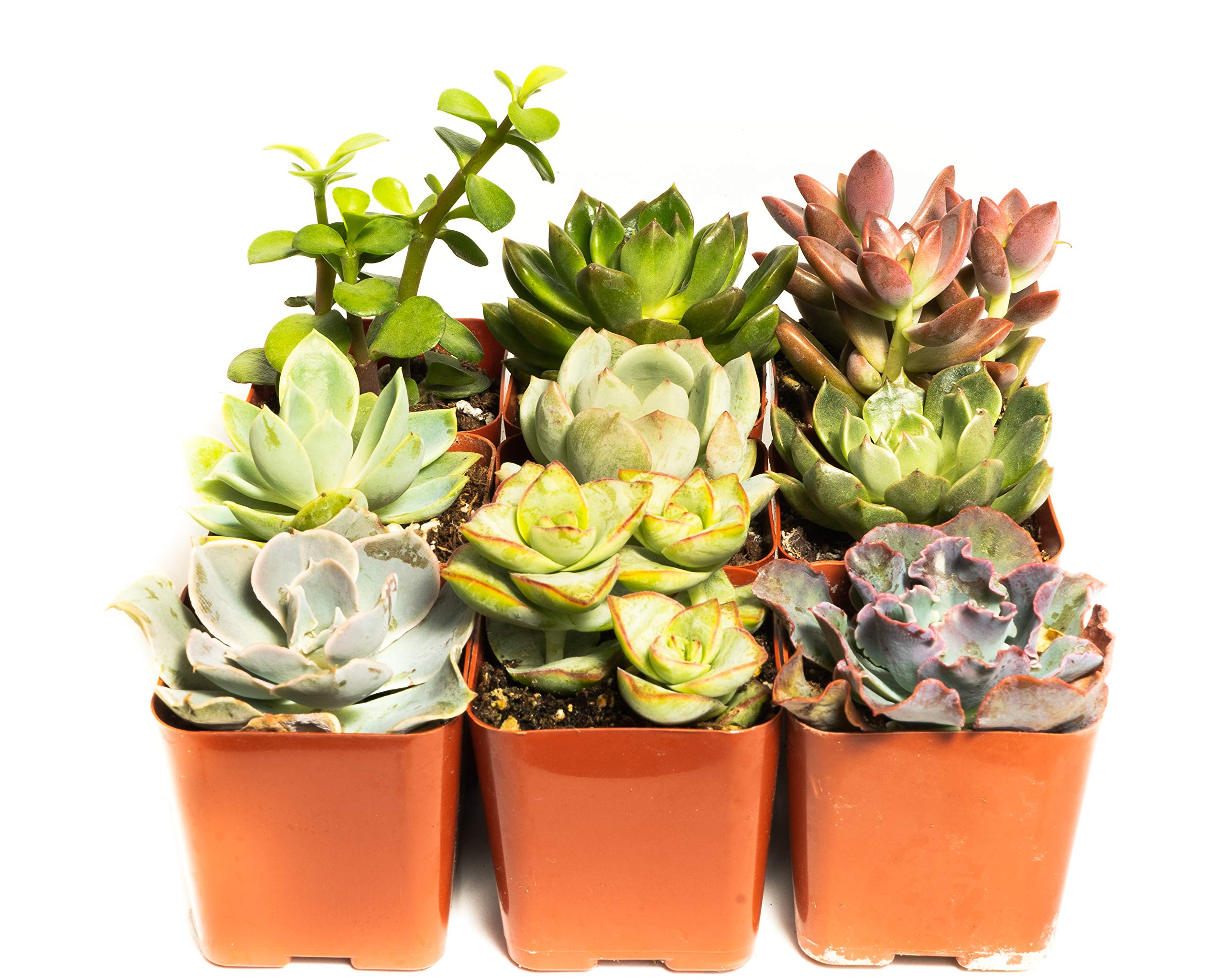 Succulent Assorted Pack- Perfect for Weddings, Party Favors, Home Gardens, and Social Events by Jiimz (15 Pack)