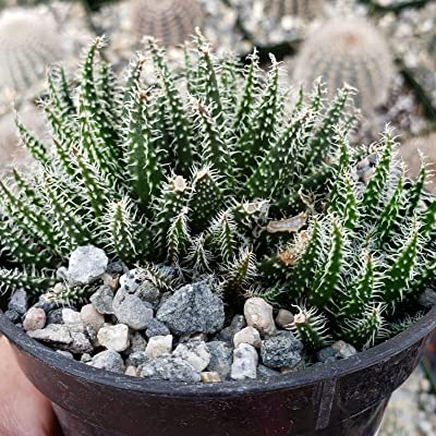 Aloe Haworthioies Live Plant Cacti Succulent #PD01 : Garden & Outdoor