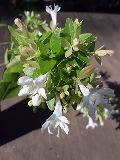 Amazoncom 1 Gallon Abelia Canyon Creek Compact Evergreen