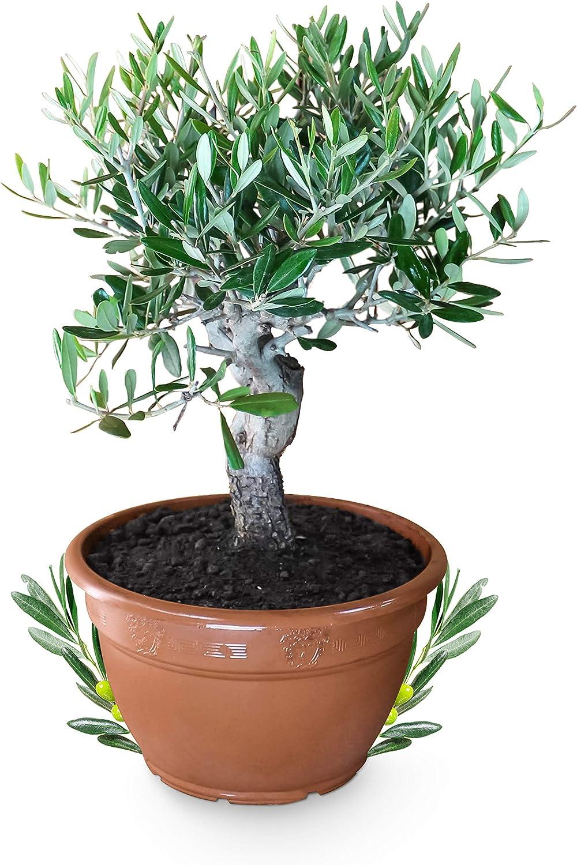 Hochzeitsgeschenk Olivenbaum