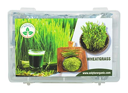 Only for Organic ! Hybrid Wheat Grass Seeds : 1000 Seeds.