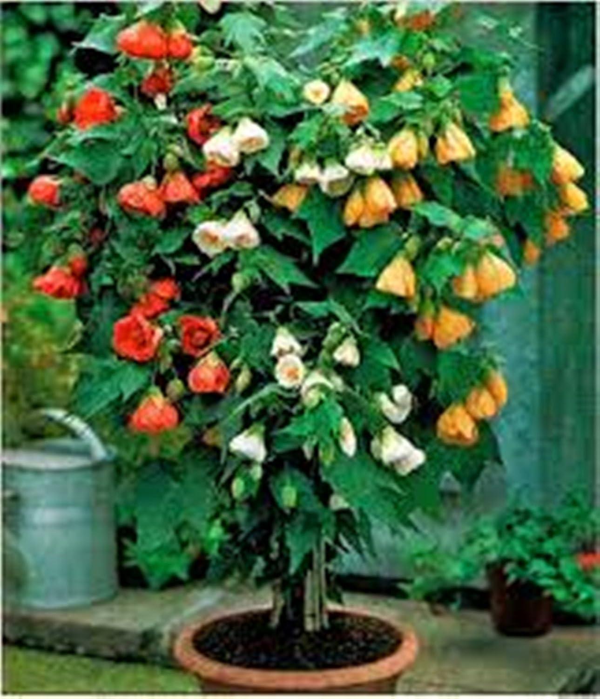 Amazon.com : Flower Seeds Chinese Lantern Mix (Abutilon hybridum ...