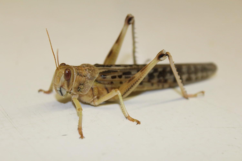 Heuschrecken Wüstenheuschrecken 50 Stück adult Futtertiere Insekten Futterinsekten Flos-Oase