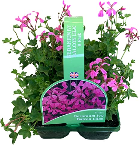 7 to 8 plants in 9cm pot Sweet Pea plants ready now for that super display.