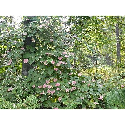 Actinidia kolomikta ARCTIC BEAUTY KIWI FRUIT VINE Exotic SEEDS! : Garden & Outdoor