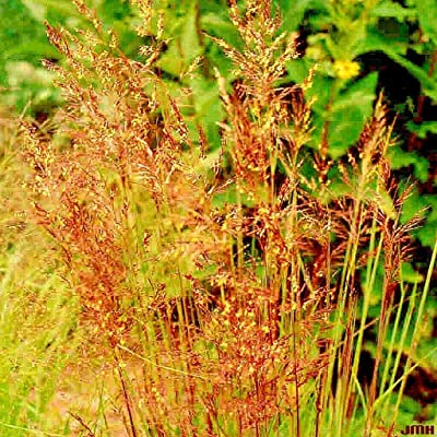 Toyensnow - 1 OZ Indian Grass Seeds Native Prairie Clumping Ornamental Perennial (10, 001+ Seeds) : Garden & Outdoor