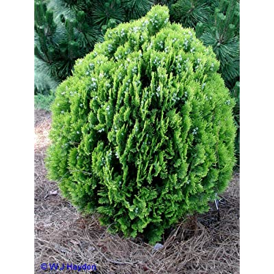 American Arborvitae, Thuja Occidentalis, Tree 50 Seeds : Garden & Outdoor