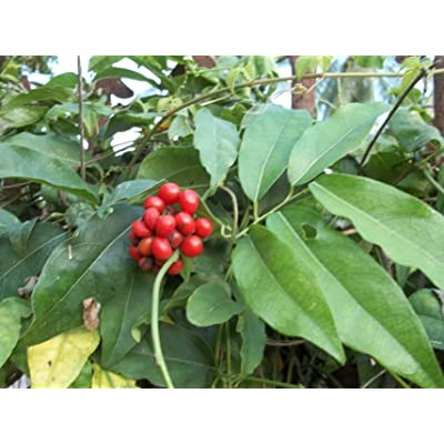 Tiliacora triandra Diels (yanang) 50 fresh seeds : Herb Plants : Garden & Outdoor