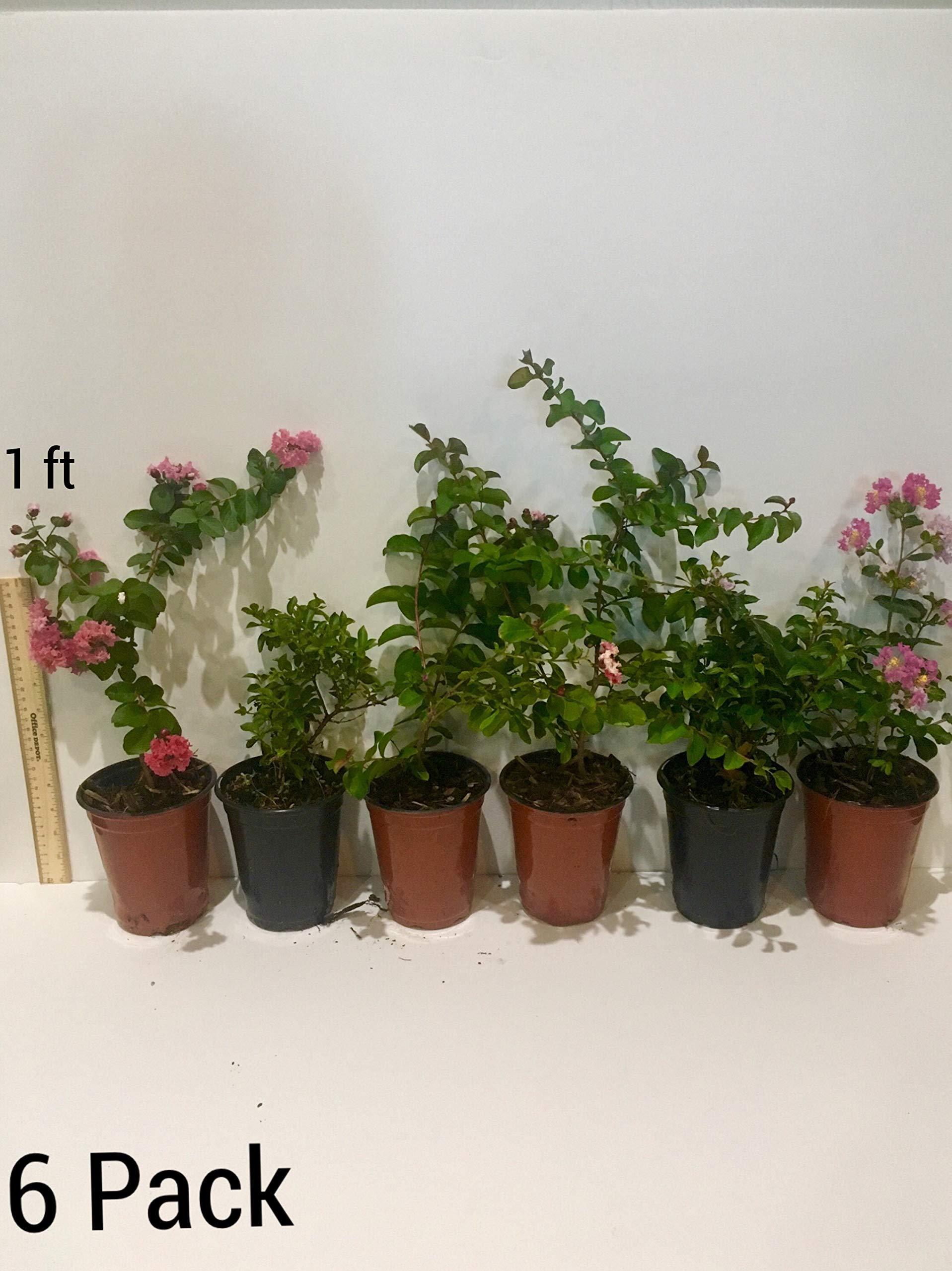 6 Pack - Arapaho - Red Flowering Crape Myrtle Trees - Lagerstroemia by CrapeMyrtleGuy (Image #2)