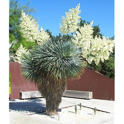 YUCCA ROSTRATA, rare beaked Big Bend agave garden aloe tree like seed 15 SEEDS : Garden & Outdoor