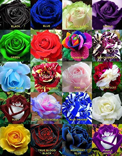 NooElec Seeds India Mixed Rare Color Rose Flower Seeds -Pack of 40
