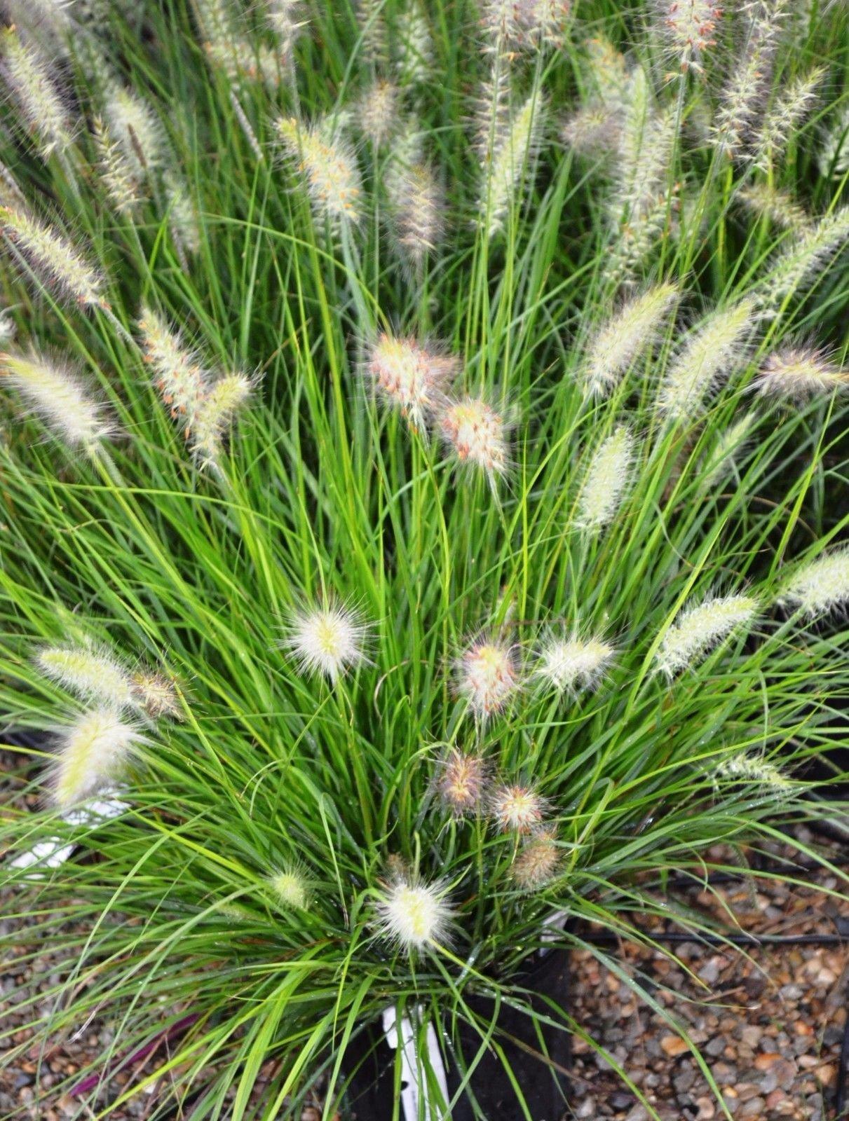 'Hameln' Dwarf Fountain Grass - Hardy Perennial - Quart Pot - 1 plant each by Grower's Solution