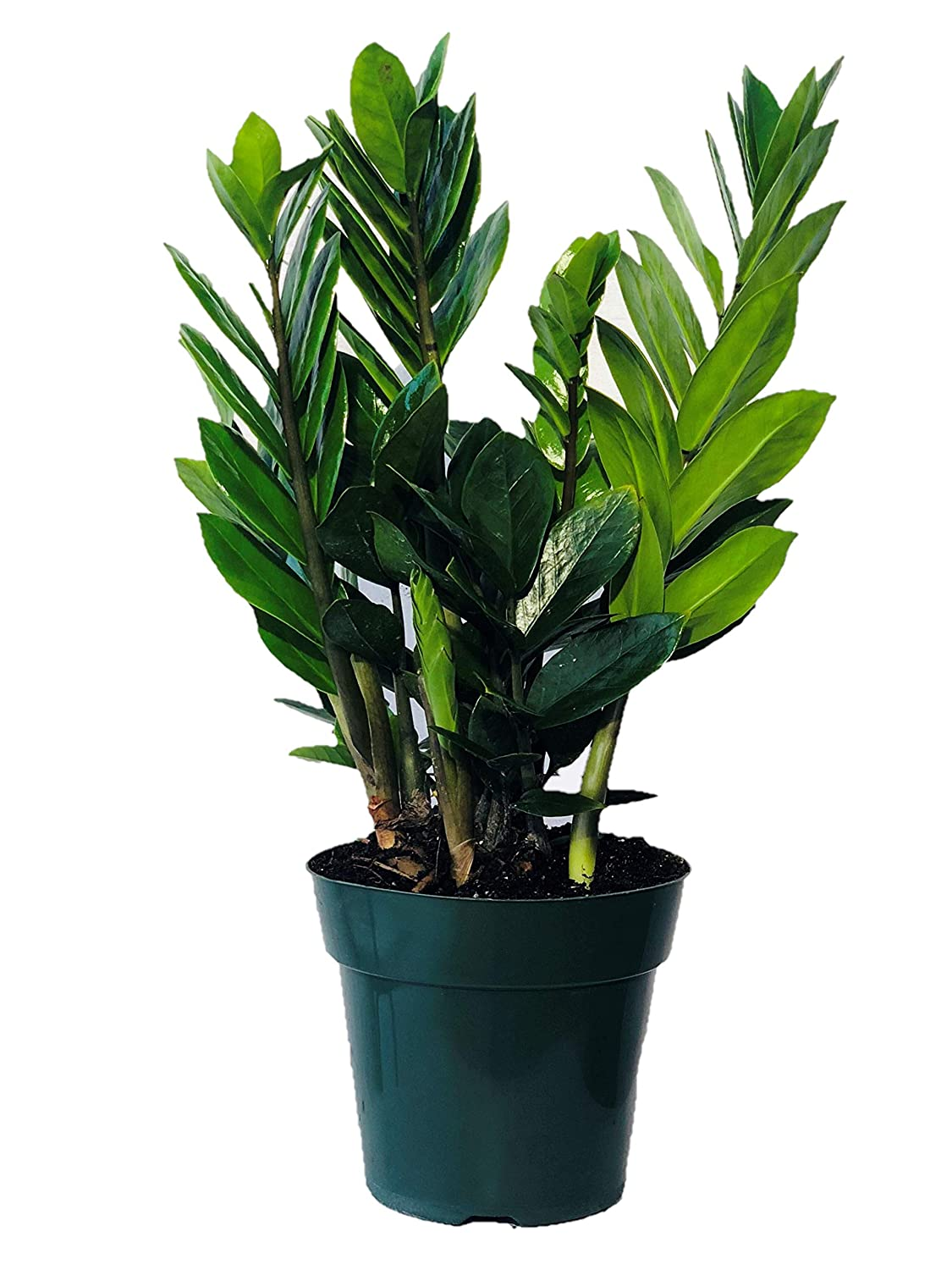 Acosta Farms - ZZ Plant (Zanzibar Gem) - Live Indoor House Plant - on order birds of paradise plant, zamiifolia house plant, spider house plant, fig house plant, houseplants plant, croton house plant, banana house plant, cast iron plant, rubber house plant, hydrangea house plant, peperomia house plant, fern house plant, zi zi plant, arrowhead house plant, umbrella house plant, avocado house plant, eternity plant, house plant identification succulent plant,