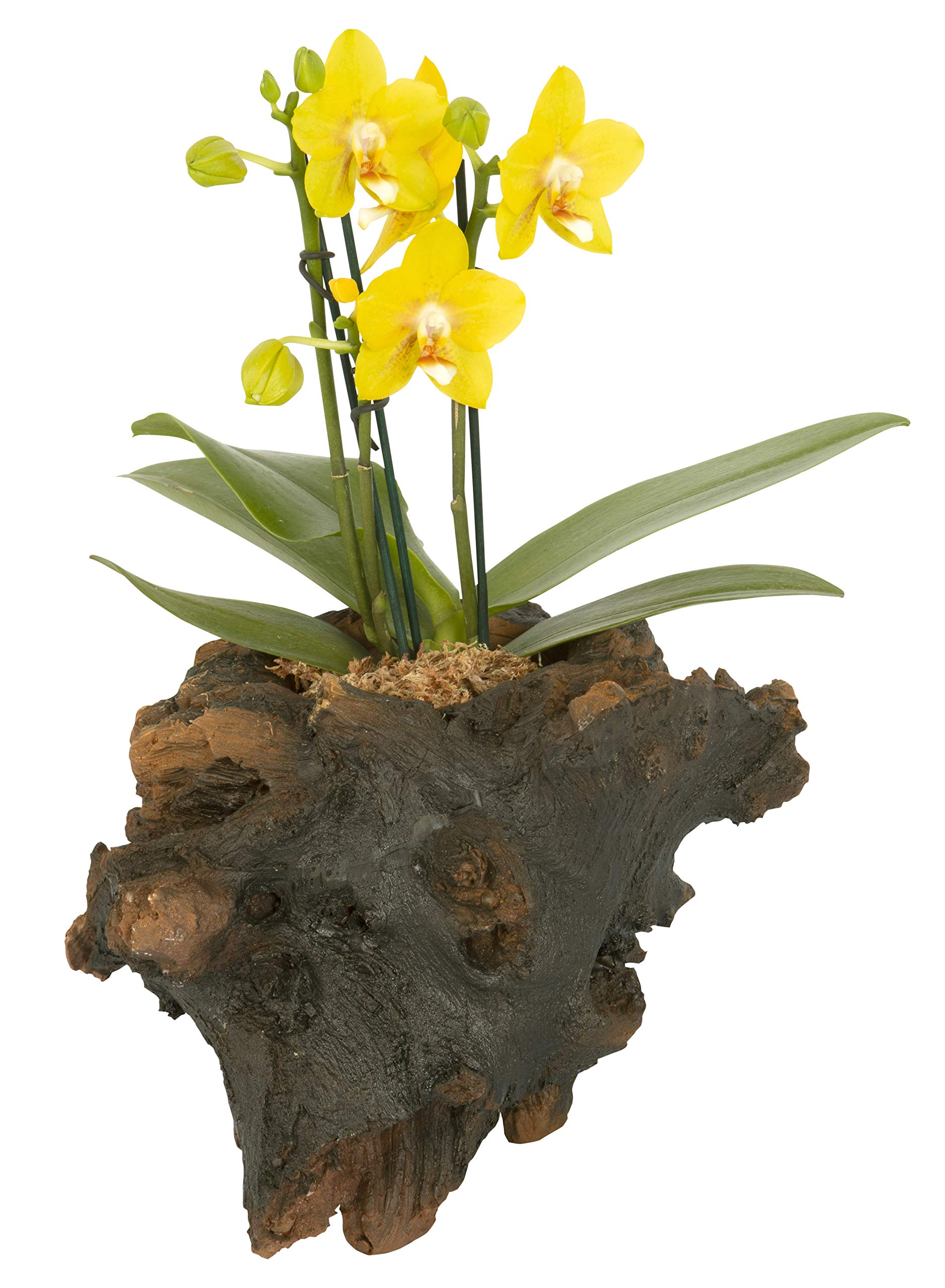 Color Orchids Live Blooming Double Stem Phalaenopsis Orchid Plant in Ceramic Pot, 15'' - 20'' Tall Yellow