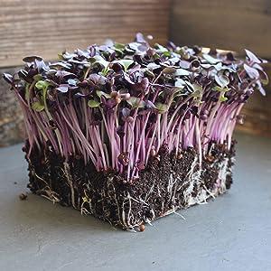 Rambo Purple Sprouting Radish Garden Seeds - 5 Lb - Non-GMO, Sprouting, Vegetable Gardening & Microgreens - Raphanus sativus